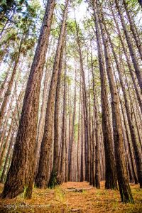 Pine Forest-2
