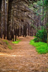 Pine Forest-4