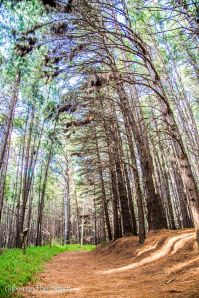 Pine Forest-5